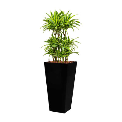 Dracaena Lemon Lime - Hydroculture - Square Runner Planter - Black 140cm
