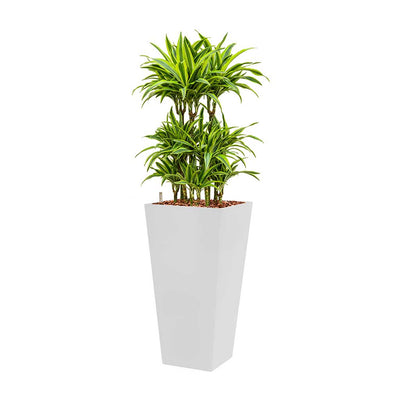 Dracaena Lemon Lime - Hydroculture - Square Runner Planter - White 140cm