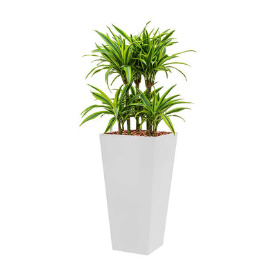 Dracaena Lemon Lime - Hydroculture - Square Runner Planter - White 130cm