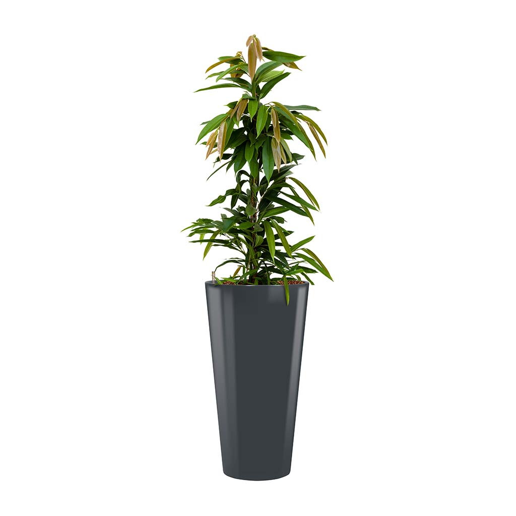 Ficus Amstel King - Hydroculture - Round Runner Planter - Anthracite
