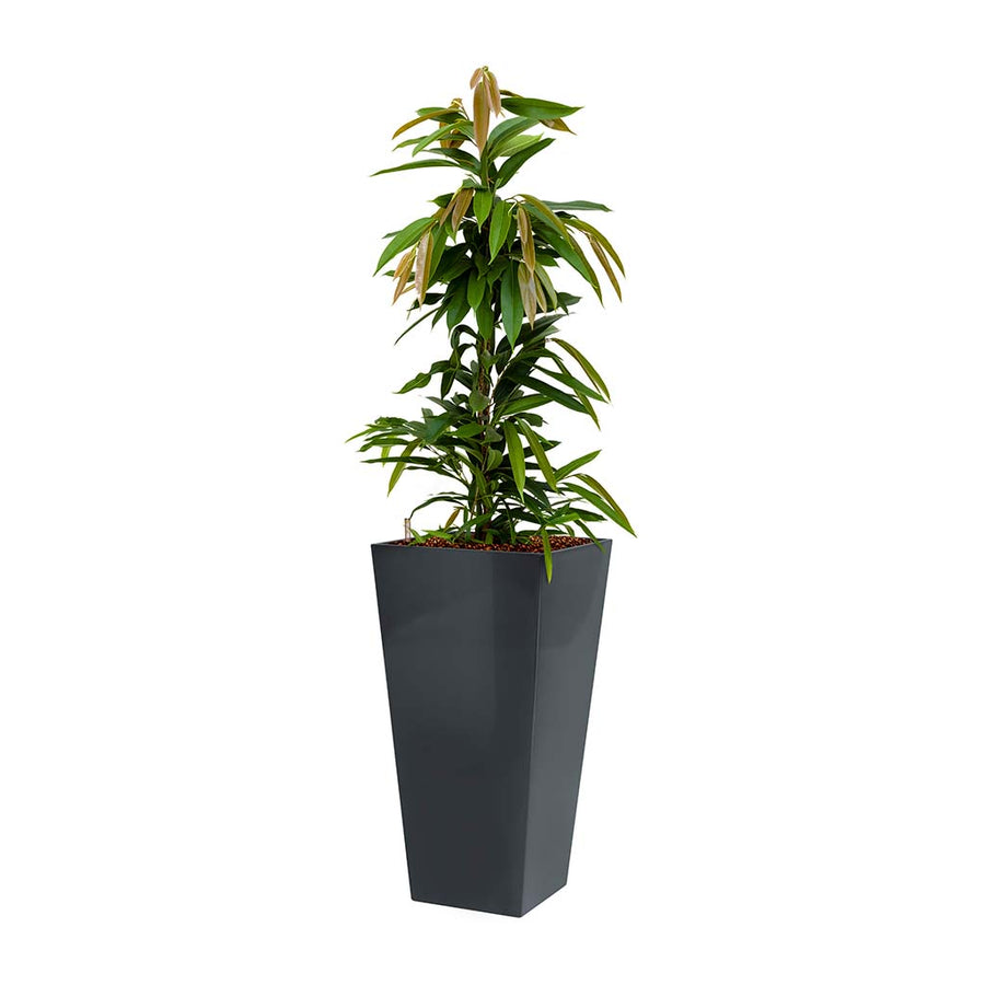 Ficus Amstel King - Hydroculture - Square Runner Planter - Red