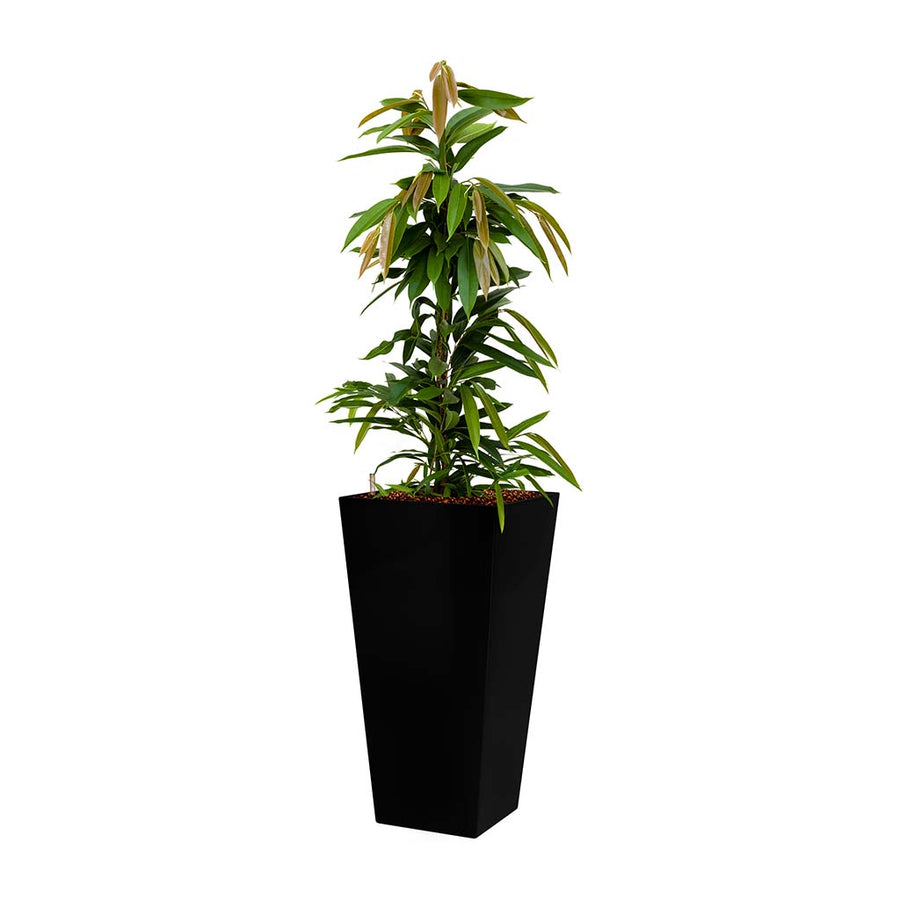 Ficus Amstel King - Hydroculture - Square Runner Planter - Anthracite