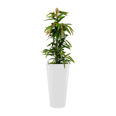 Ficus Amstel King - Hydroculture - Round Runner Planter - White