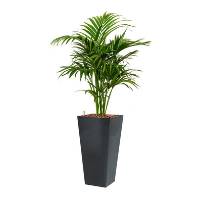 Kentia Palm - Hydroculture - Square Runner Planter - Anthracite