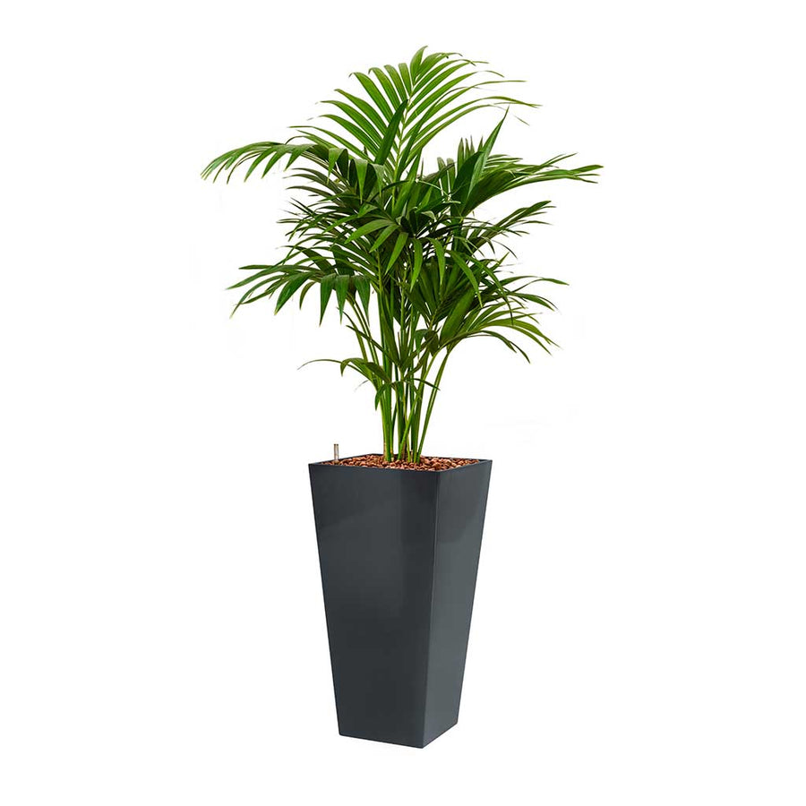 Kentia Palm - Hydroculture - Square Runner Planter - Silver