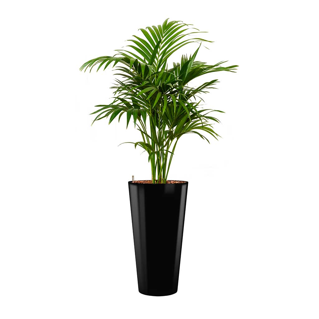 Kentia Palm - Hydroculture - Round Runner Planter - Black