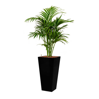 Kentia Palm - Hydroculture - Square Runner Planter - Black