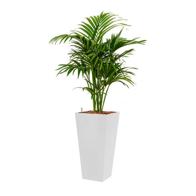 Kentia Palm - Hydroculture - Square Runner Planter - White