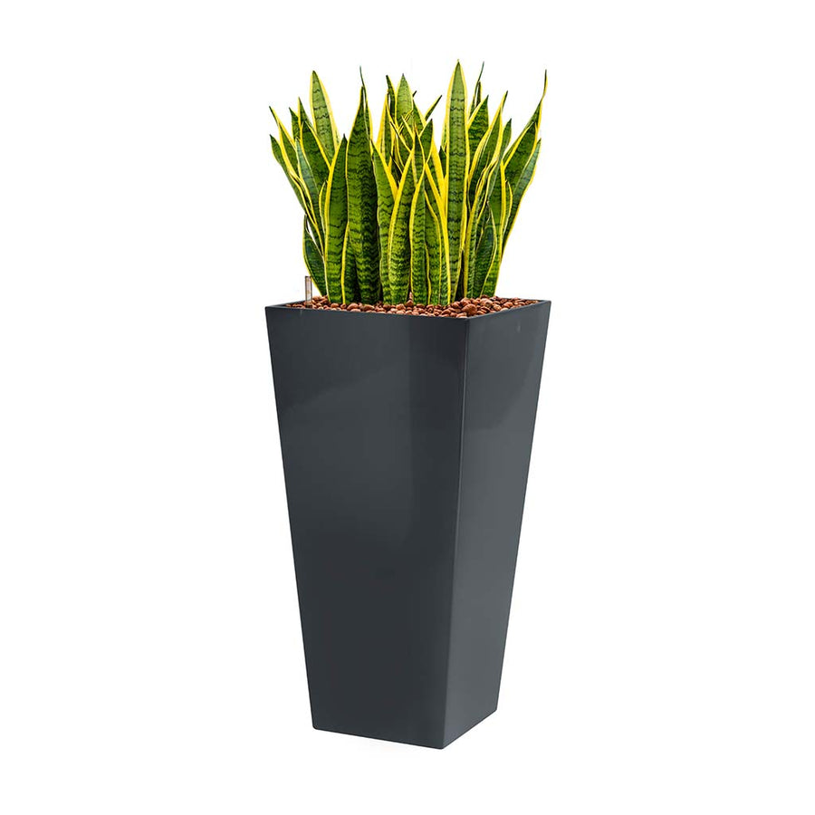 Sansevieria Laurentii - Hydroculture - Square Runner Planter - Red
