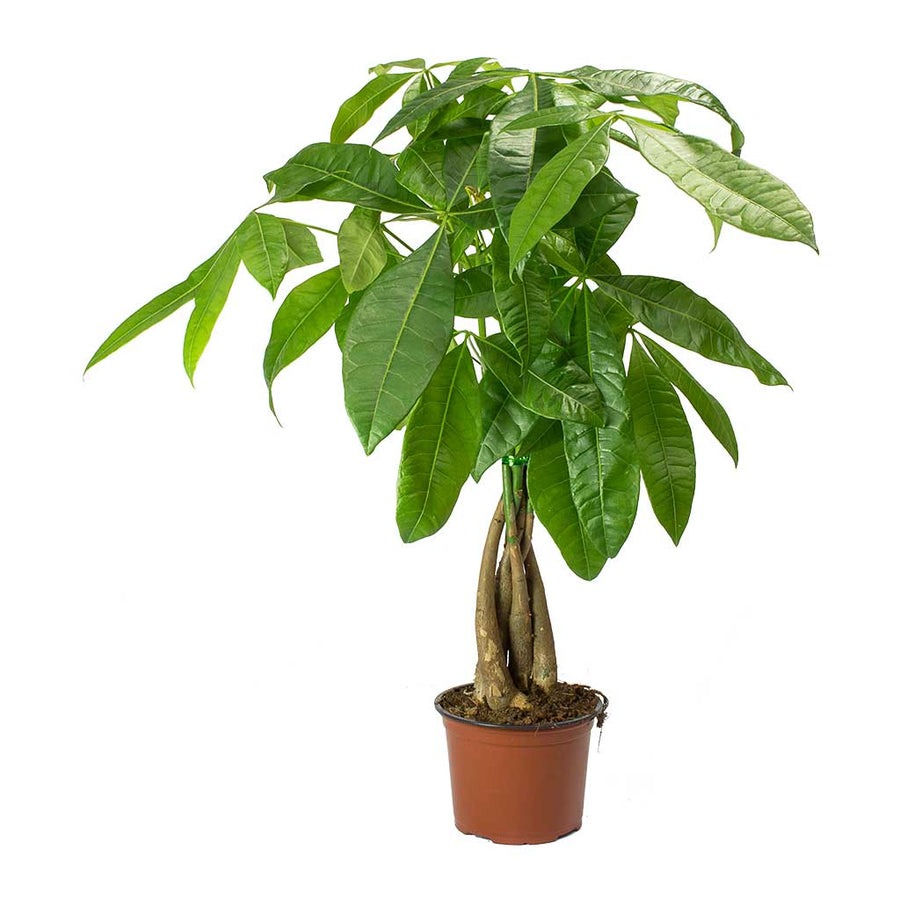 Pachira aquatica - Money Tree