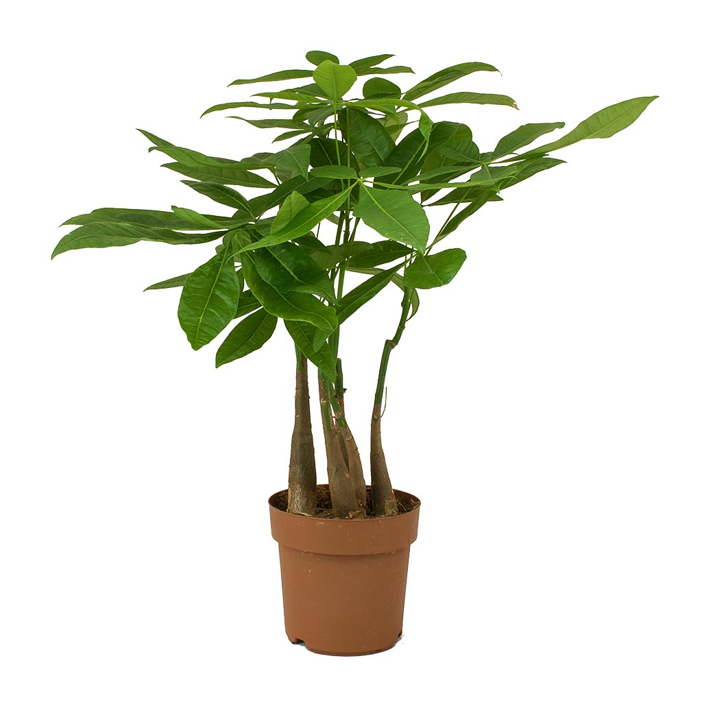 Pachira aquatica - Multi Stem - Money Tree