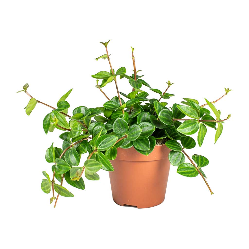 Peperomia angulata - Dark Green Beetle Radiator Plant