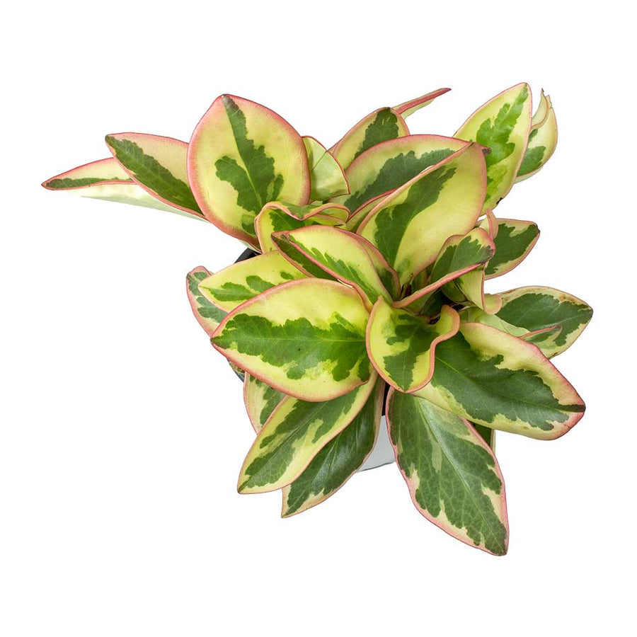 Peperomia clusiifolia Jelly - Variegated Red Edged Radiator Plant