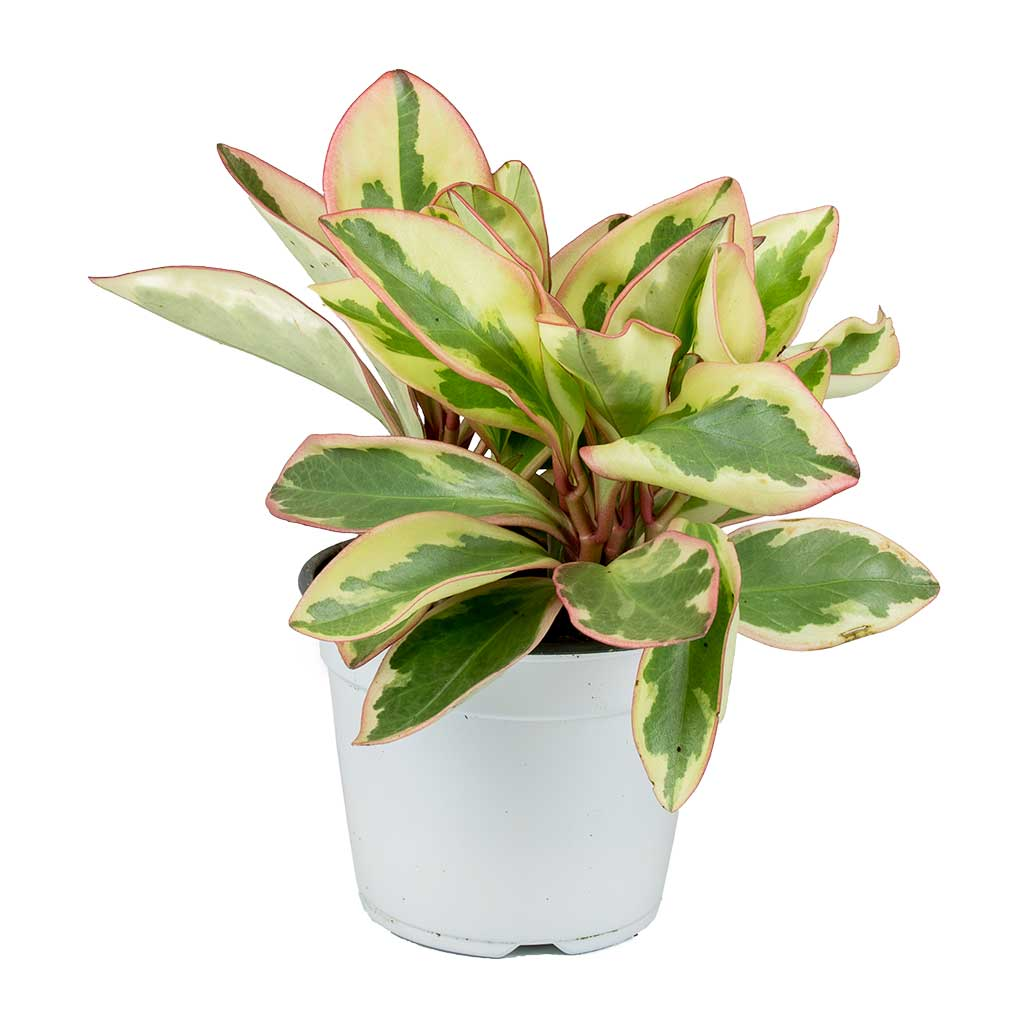 Peperomia Clusiifolia Jelly Variegated Red Edged Radiator Plant Hortology