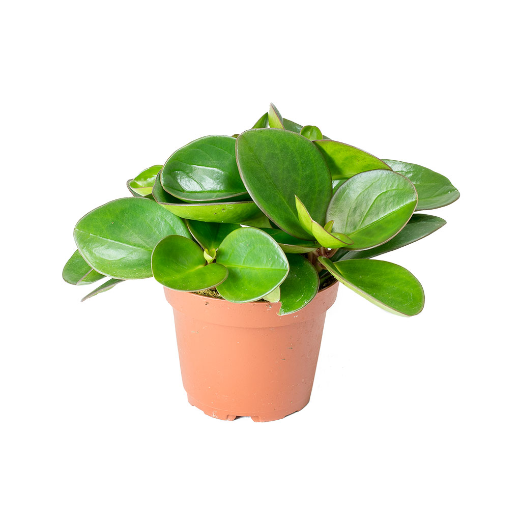 Peperomia clusiifolia Red Margin - Red Edged Radiator Plant 20cm