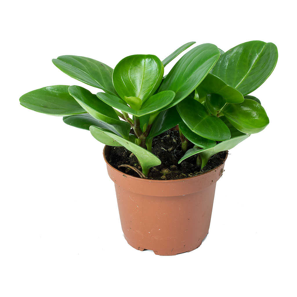 "Picture of Live Peperomia Green aka Peperomia obtusifolia Plant Fit 4"" Pot"