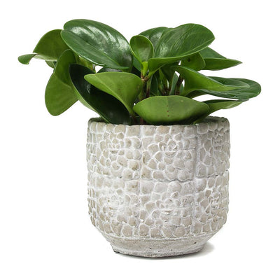 Bloom Plant Pot - Cement 14 x 13cm & Peperomia obtusifolia Green