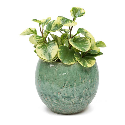 Peperomia obtusifolia Variegata - Variegated Baby Rubber Plant & Femme Azure Plant Pot