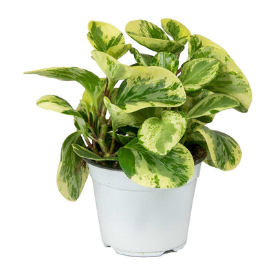 Peperomia obtusifolia Variegata - Variegated Baby Rubber Plant