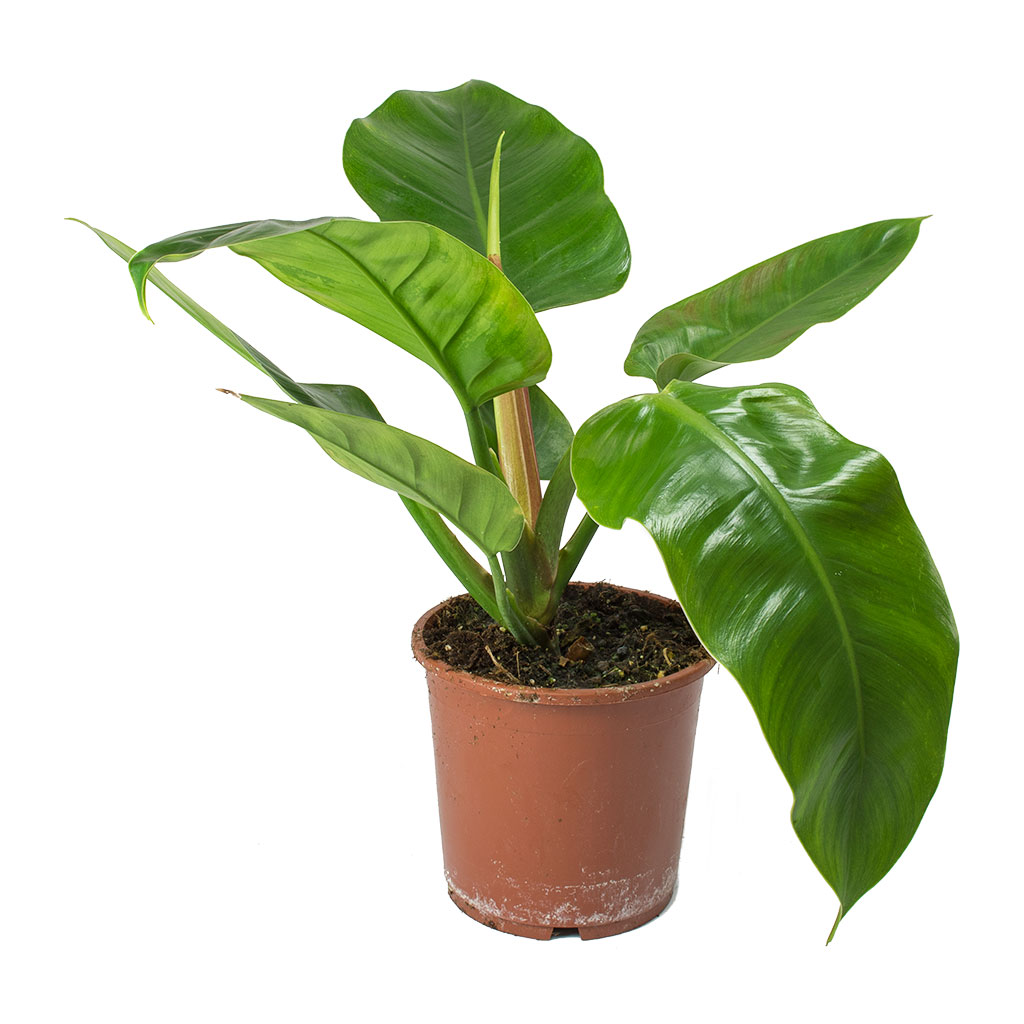 Philodendron Imperial Green Houseplants Hortology