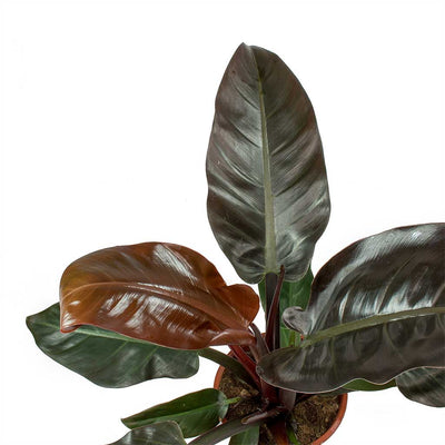 Philodendron Imperial Red Leaves