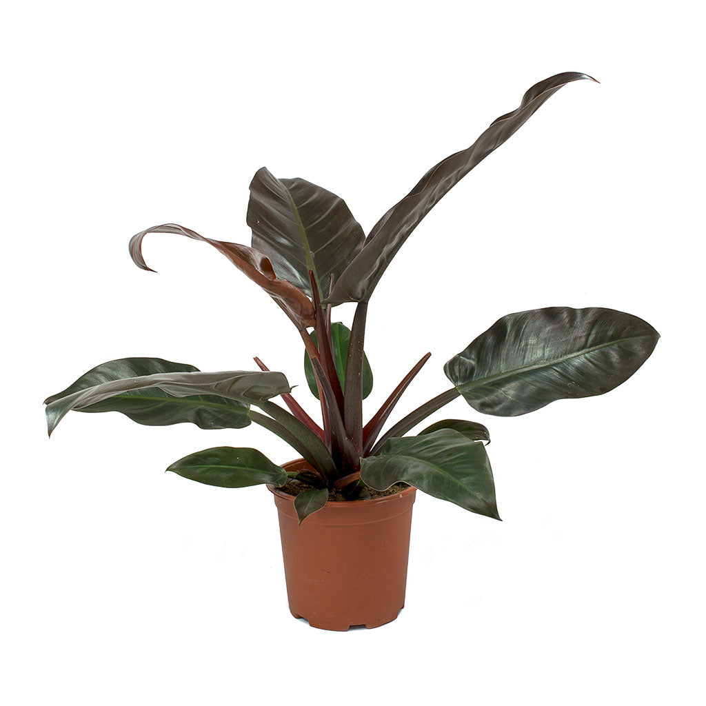 Philodendron young rooted tropical house plant