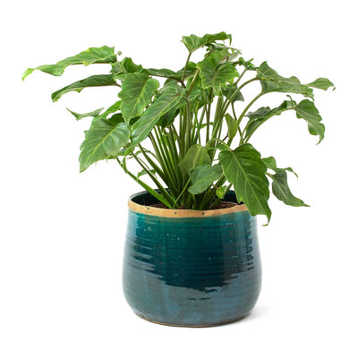 Philodendron Winterbourn - Xanadu Philodendron & Iris Plant Pot Turquoise