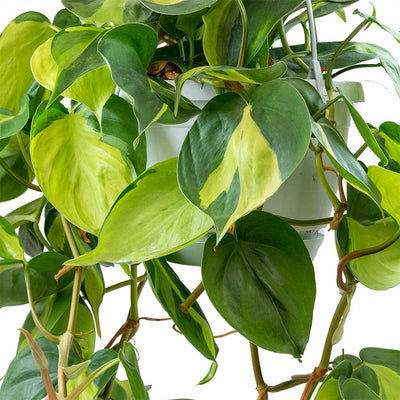 Philodendron scandens Brasil - Sweetheart Plant Leaves
