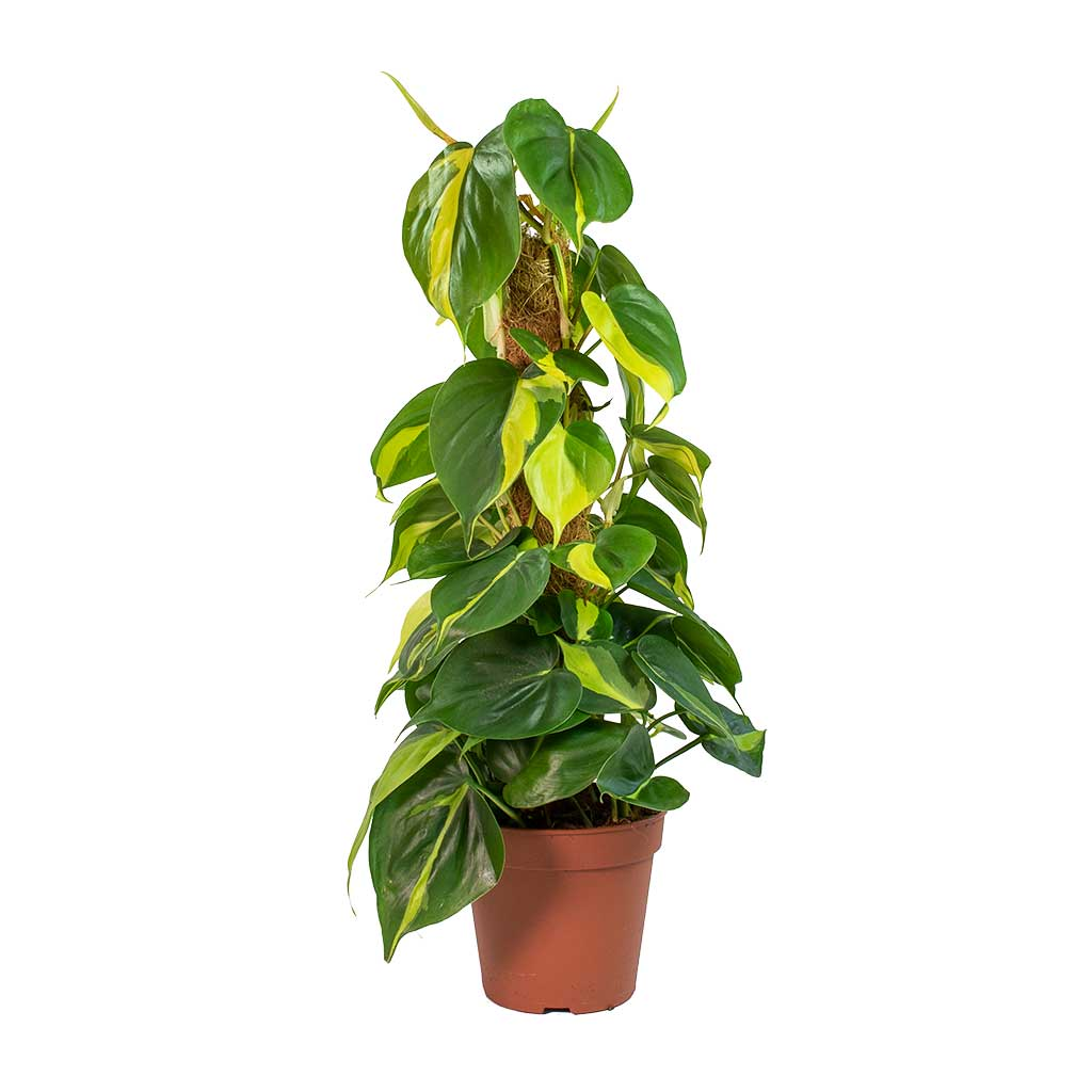 Philodendron scandens Brasil - Sweetheart Plant - Moss Pole