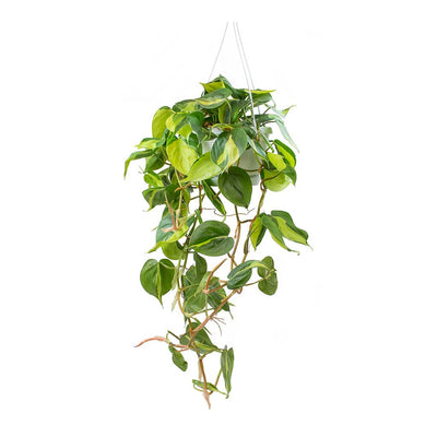 Philodendron scandens Brasil - Sweetheart Plant