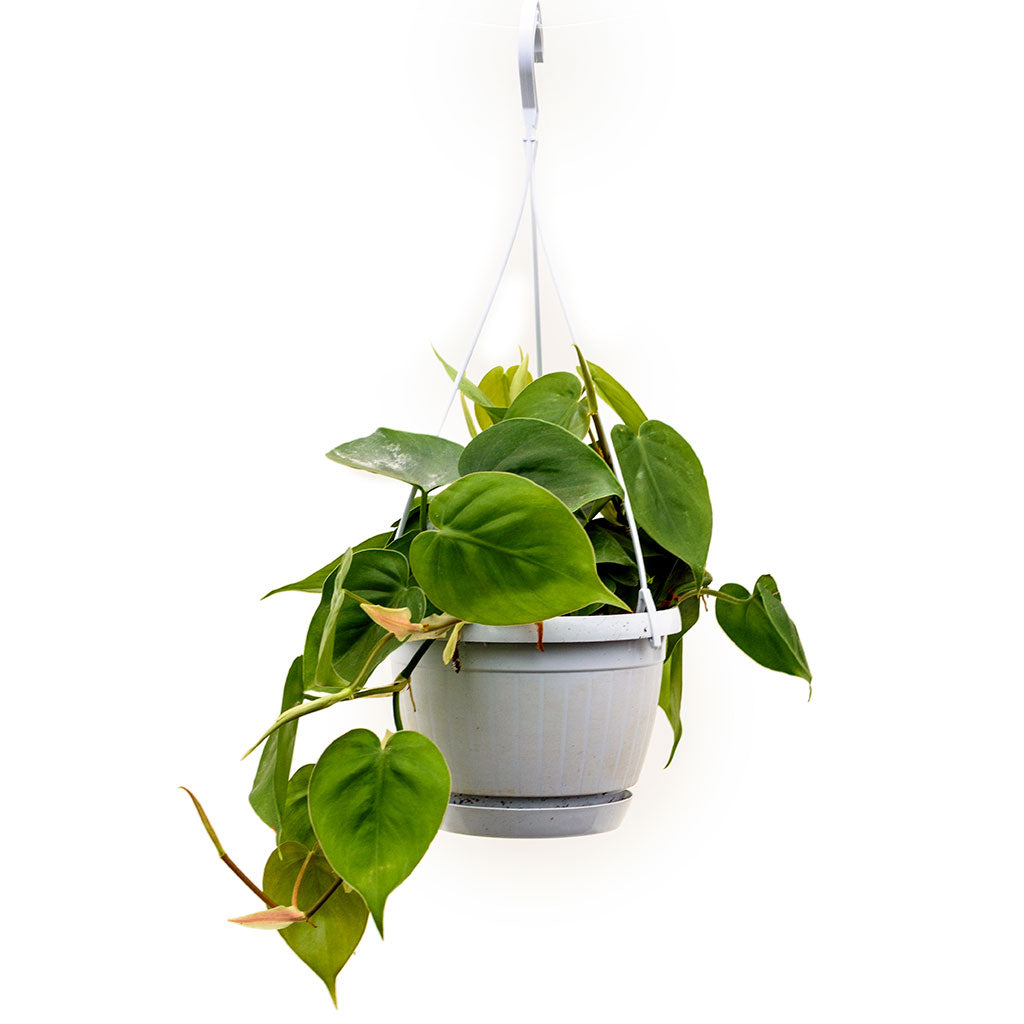 Philodendron scandens - Sweetheart Plant 40cm