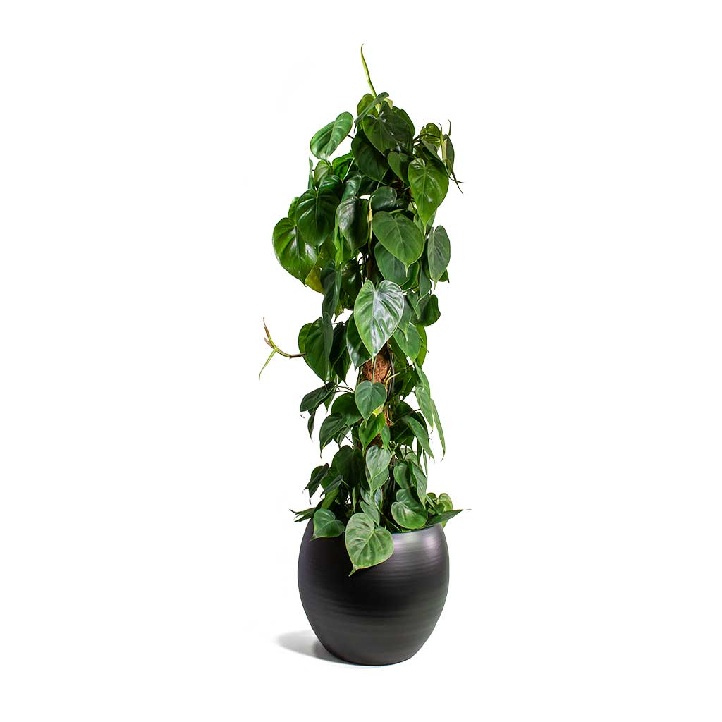 Philodendron scandens - Sweetheart Plant - Moss Pole