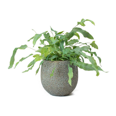 Phlebodium Blue Star - Blue Star Fern & Eva Blue Gold Plant Pot