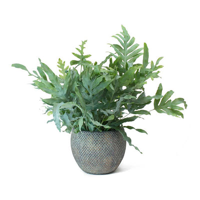 Phlebodium Blue Star - Blue Star Fern & Fay Plant Pot