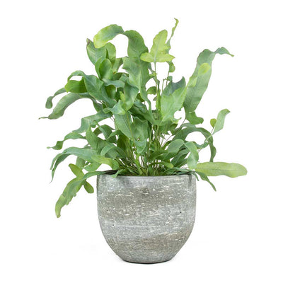 Phlebodium Blue Star Blue Star Fern & Karlijn Plant Pot Earth