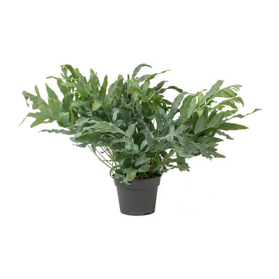 Phlebodium Blue Star - Blue Star Fern Large