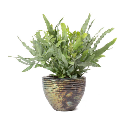 Phlebodium Blue Star Blue Star Fern & Livin Beauty Plant Vase Black Silver Waves
