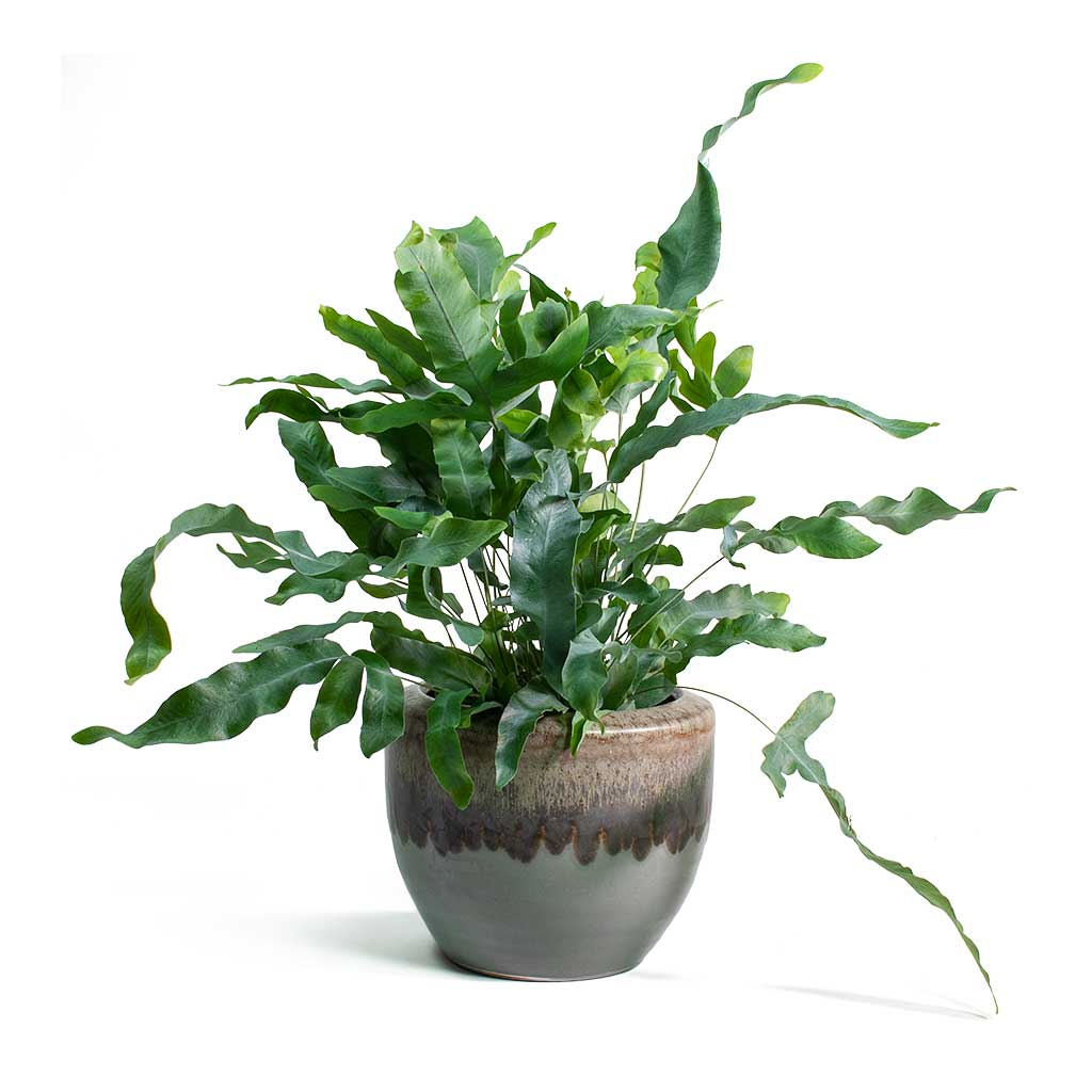 Phlebodium Blue Star - Blue Star Fern 30cm