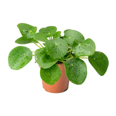 Pilea peperomioides - Chinese Money Plant 25cm