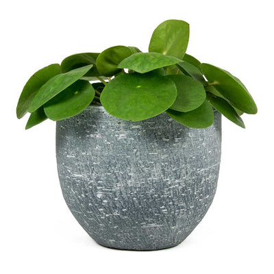 Pilea peperomioides Chinese Money Plant & Karlijn Plant Pot Anthracite
