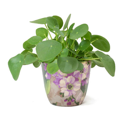 Pilea peperomioides Chinese Money Plant & Monza Plant Pot Watercolour Amethyst