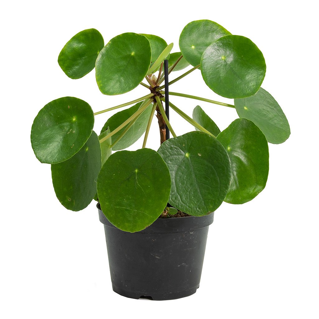 Pilea Peperomioides Chinese Money Plant Hortology
