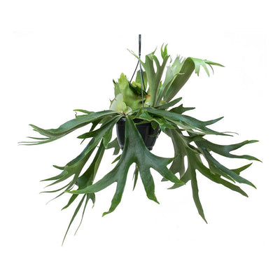 Platycerium bifurcatum - Common Staghorn Fern Large Hanging Plant