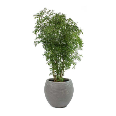 Polyscias Ming - Aralia Ming & Abby Dark Grey Ridged Cement Planter
