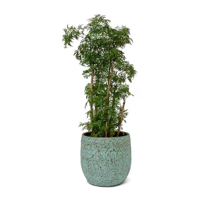 Polyscias Ming Aralia Ming & Evi Plant Pot Antique Bronze