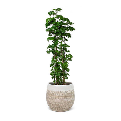 Polyscias Roble Aralia Roble & Merin Plant Pot Sand
