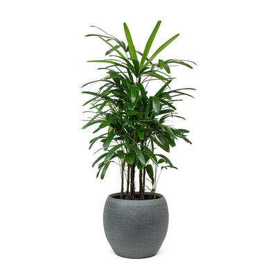 Rhapis excelsa - Lady Palm & Cresta Plant Pot Matt Grey