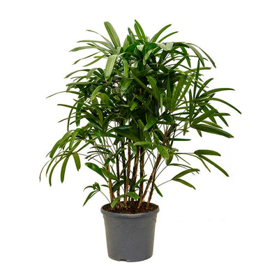 Rhapis excelsa - Lady Palm - X Large
