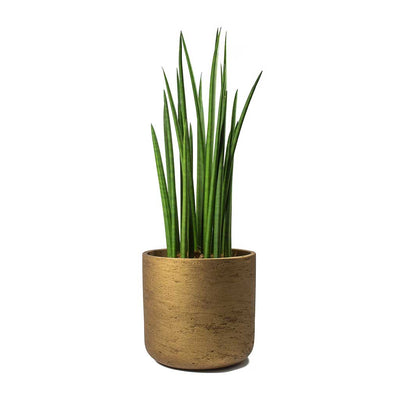 Sansevieria cylindrica Spikes Cylindrical Snake Plant & Charlie Metallic Copper Plant Pot
