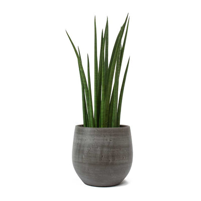 Sansevieria cylindrica Spikes Cylindrical Snake Plant& Esra Plant Pot Mystic Grey